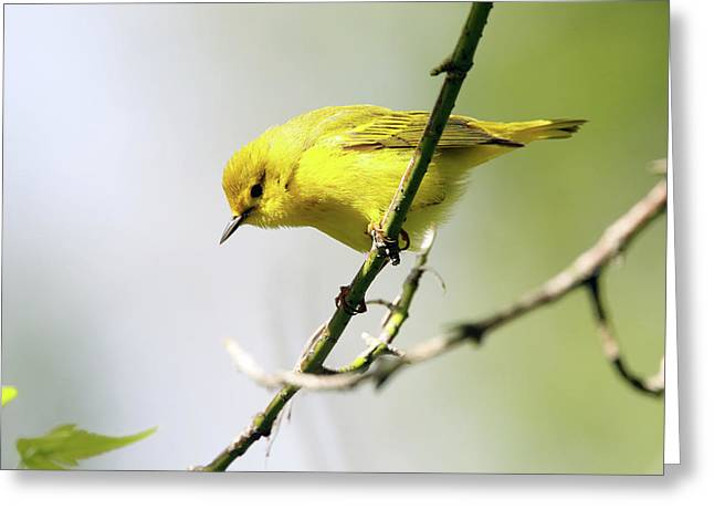 Yellow Warbler Greeting Card by David Yunker