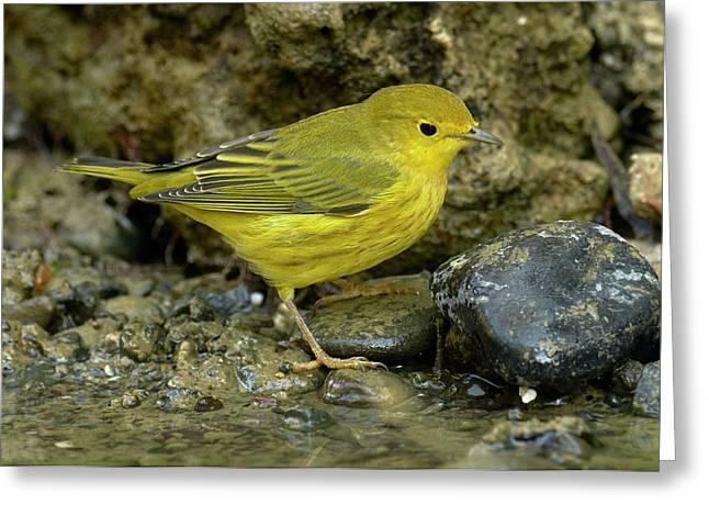 Yellow Warbler Greeting Card by Doug Herr