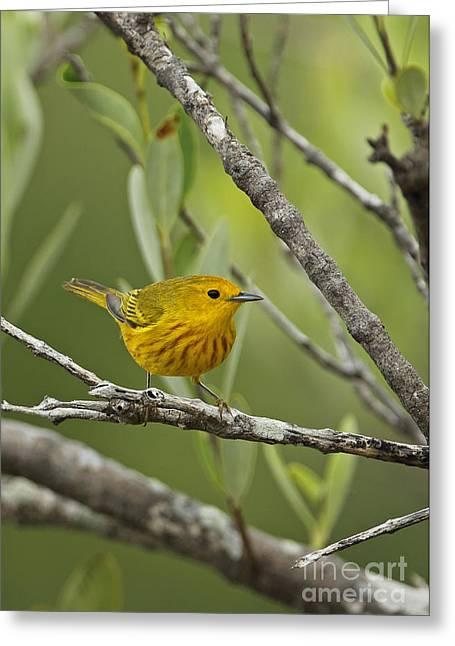 Yellow Warbler In Cuba Greeting Card