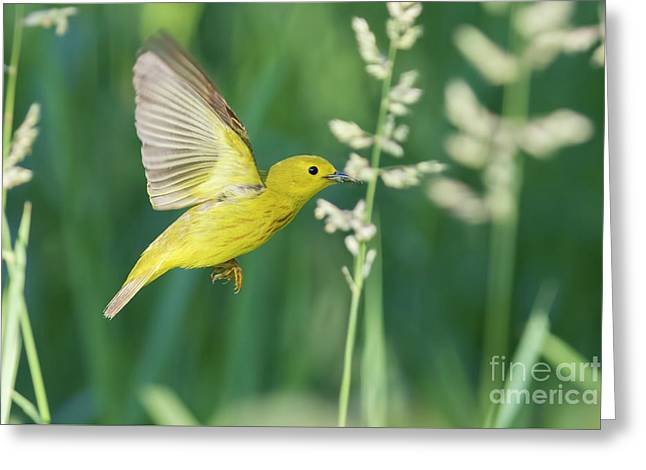 Yellow Warbler In Flight Greeting Card