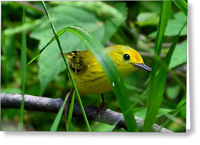 Yellow Warbler Greeting Card by Kathy Eickenberg
