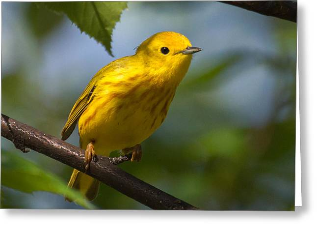 Yellow Warbler Male Greeting Card by Dee Carpenter