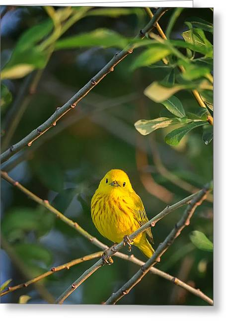 Yellow Warbler Portrait Greeting Card