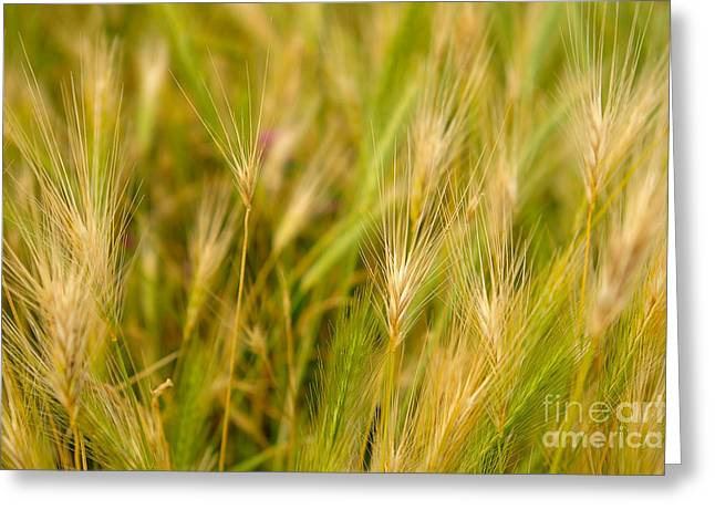 Yellowed Grass Greeting Card