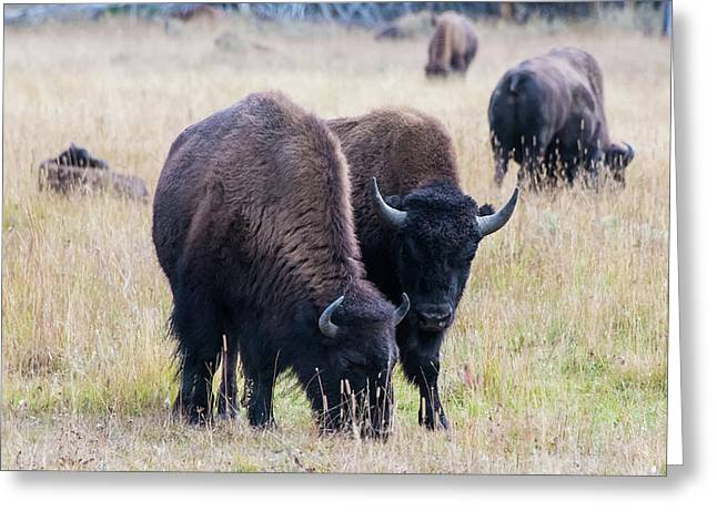 Greeting Card featuring the photograph Yellowstone Bison by Jennifer Ancker