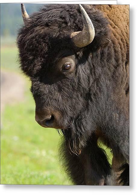 Yellowstone Bison Portrait Greeting Card by Sandra Bronstein