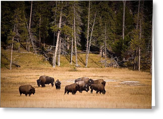 Yellowstone Bison Greeting Card by Steve Gadomski
