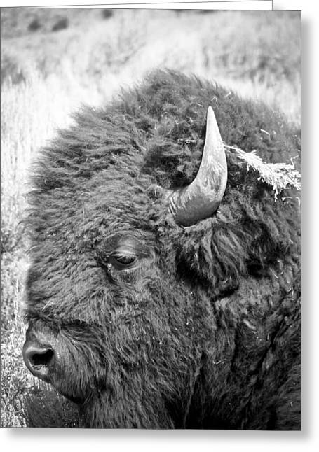 Yellowstone Buffalo Greeting Card by Jonathan Hansen
