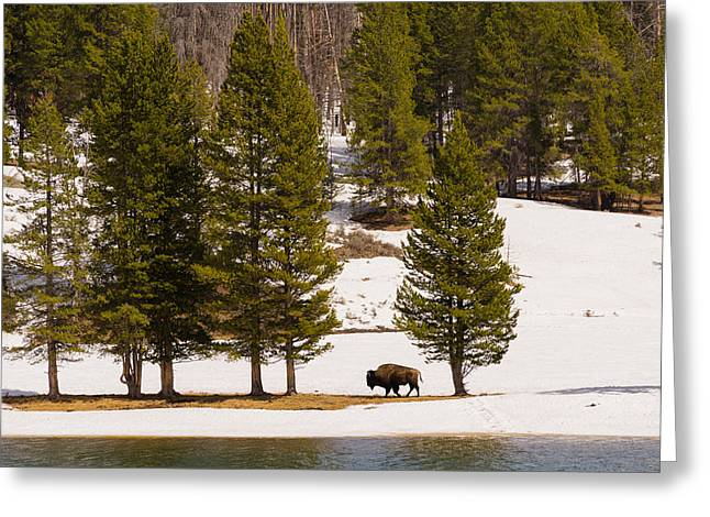 Greeting Card featuring the photograph Yellowstone Buffalo by Mike Evangelist