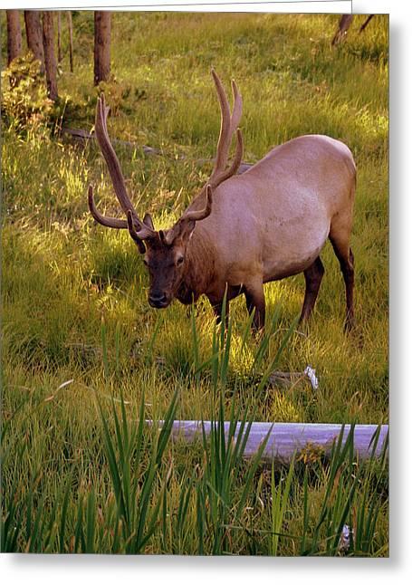 Yellowstone Bull Greeting Card by Marty Koch