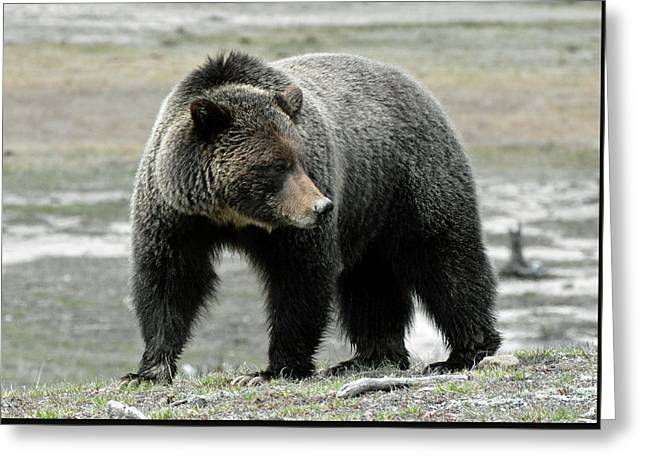 Greeting Card featuring the photograph Yellowstone Grizzly A Pondering by Bruce Gourley
