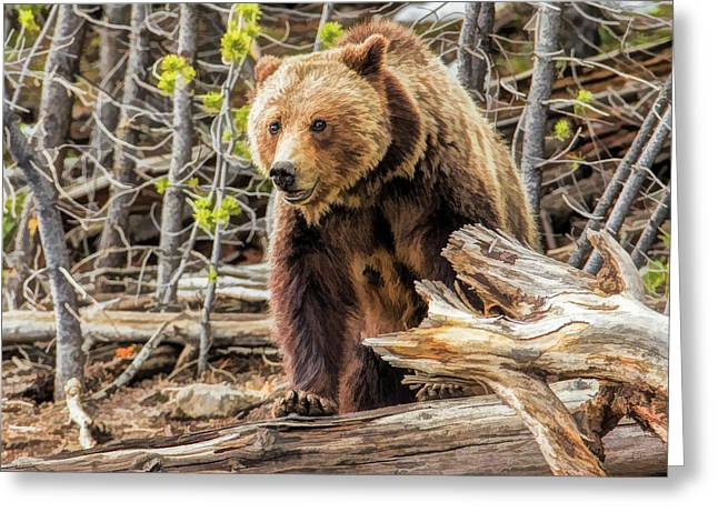 Greeting Card featuring the painting Yellowstone Grizzly Bear by Christopher Arndt