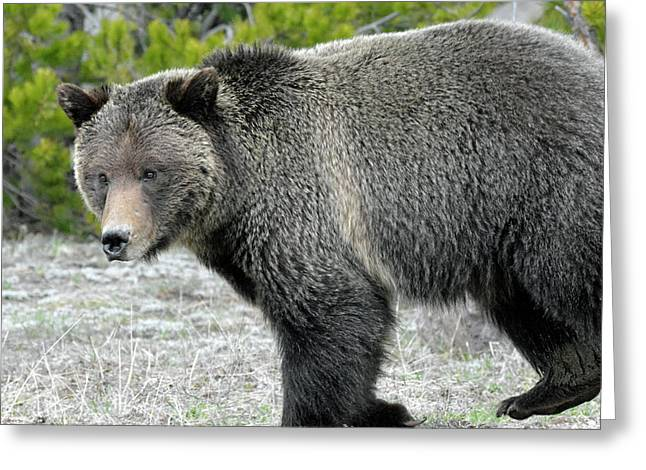 Greeting Card featuring the photograph Yellowstone Grizzly On The Hunt by Bruce Gourley