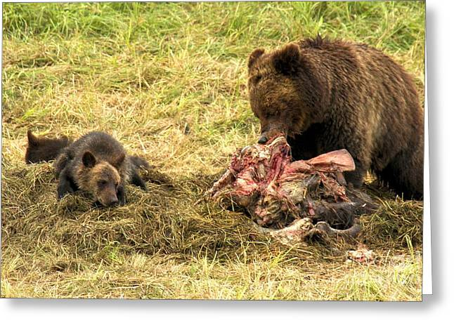 Yellowstone Lifecycle Greeting Card by Adam Jewell
