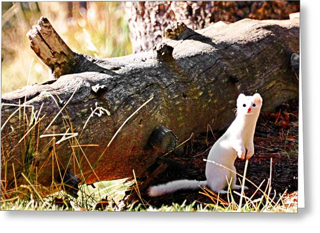 Yellowstone National Park - Snow Weasel Greeting Card