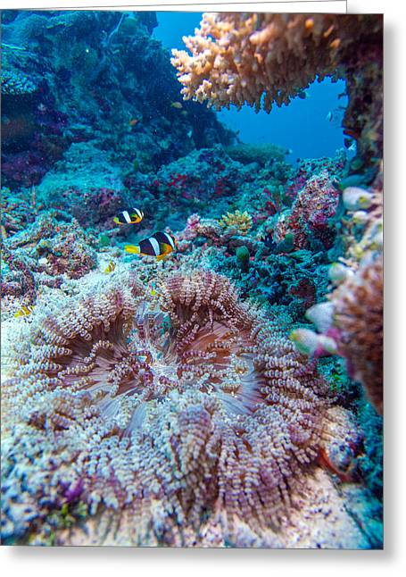Yellowtail Clown Fish With Sea Anemone Greeting Card by Rostislav Ageev