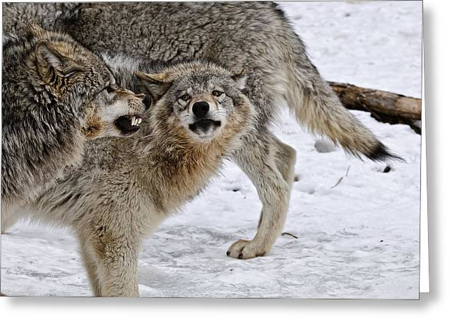 Wolves Greeting Cards - Yes Dear Greeting Card by Michael Cummings