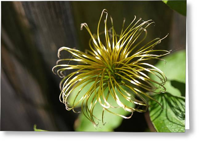 Yesterday's Bloom - 1 - Clematis Greeting Card