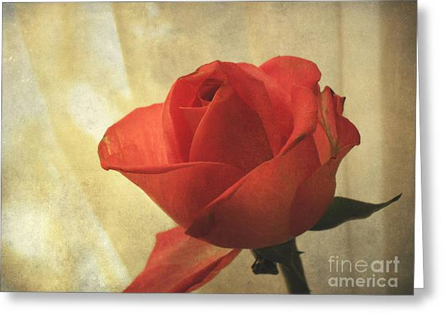 Greeting Card featuring the photograph Yesterday's Rose by Jacqi Elmslie