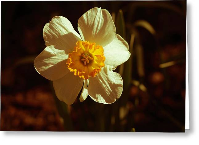 Yesteryear Daffodil Greeting Card