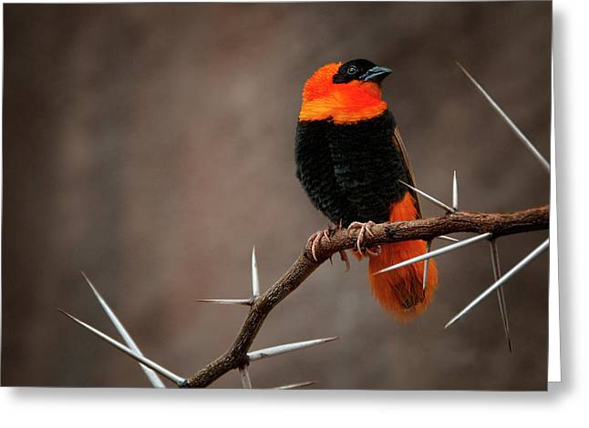 Yikes Spikes - Red Bishop Weaver Bird Greeting Card by Mitch Spence