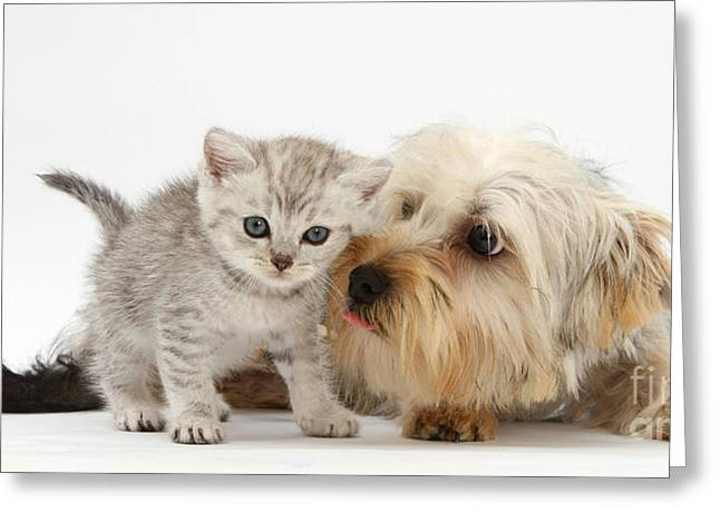 Yorkshire Terrier & Tabby Kitten Greeting Card