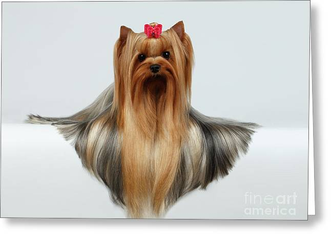 Yorkshire Terrier Dog With Long Groomed Hair Lying On White  Greeting Card