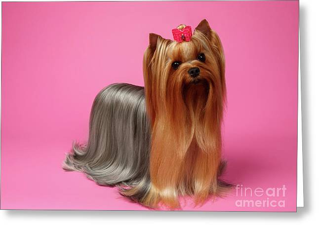 Yorkshire Terrier Dog With Long Groomed Hair Stands On Pink   Greeting Card by Sergey Taran