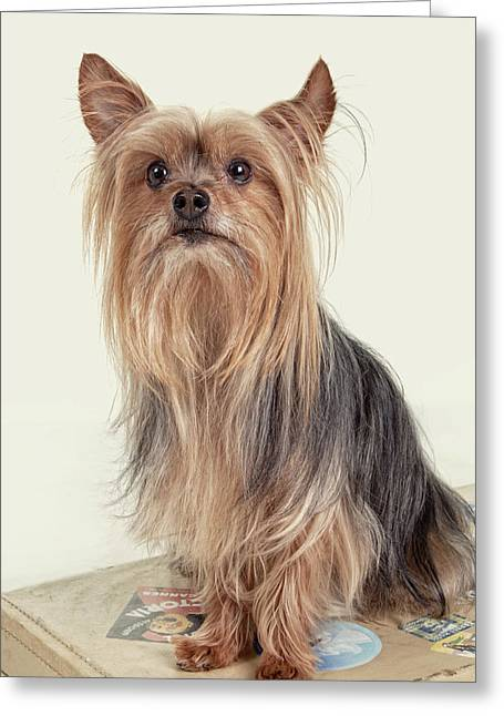 Ears Up Greeting Cards - Yorkshire Terrier Posing on a Suitcase Greeting Card by Susan Stone