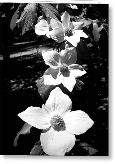 Yosemite Dogwoods Black And White Greeting Card
