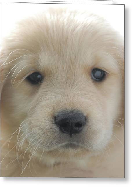 You Had Me At Woof - Golden Retriever Puppy Greeting Card by Stan Fellerman