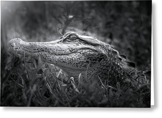 Young Alligator At Sunrise Greeting Card