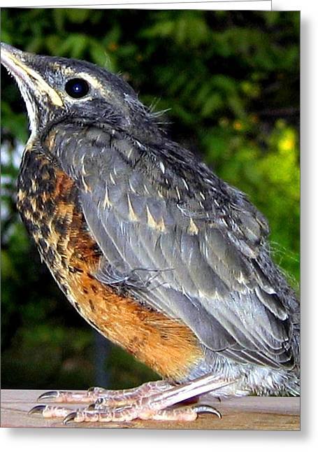 Young American Robin Greeting Card