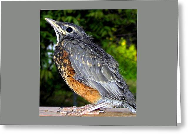 Young American Robin Greeting Card by Will Borden