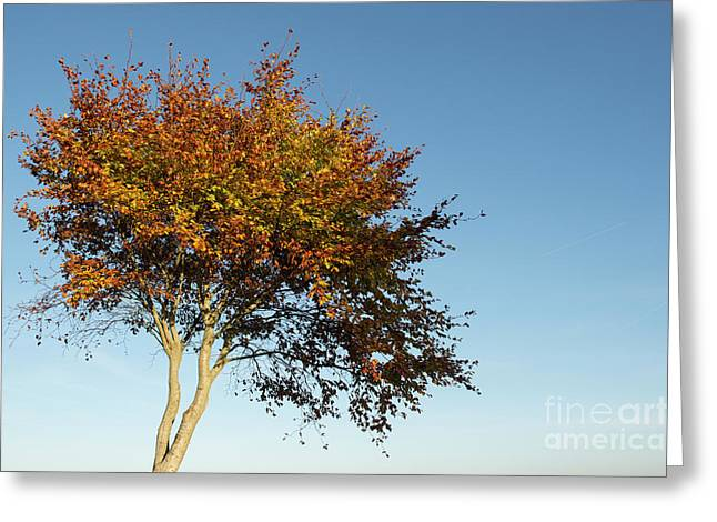Young Autumn Beech Tree Greeting Card by Tim Gainey