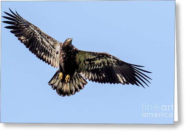 Young Bald Eagle Flight Greeting Card
