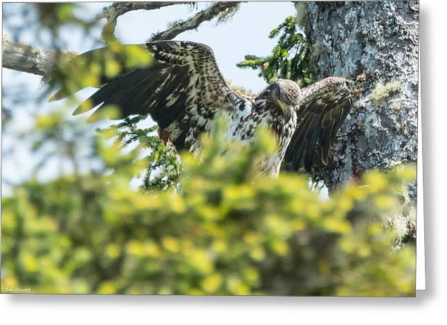 Young Bald Eagle Greeting Card