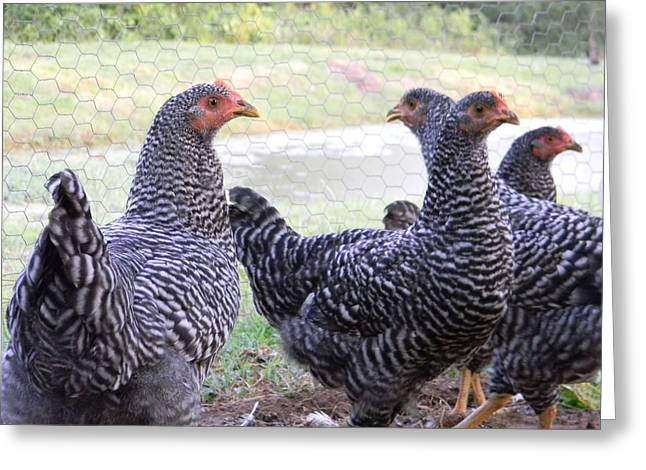 Young Barred Rock Hens Greeting Card