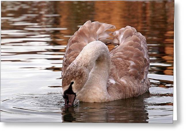 Young Beauty - Juvenile Mute Swan Greeting Card by Gill Billington