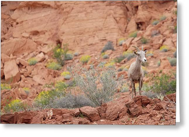 Greeting Card featuring the photograph Young Big Horn Sheep  by Patricia Davidson