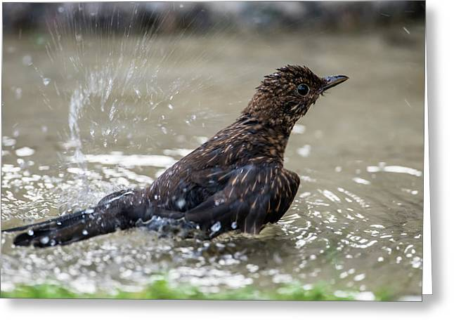 Greeting Card featuring the photograph Young Blackbird's Bath by Torbjorn Swenelius