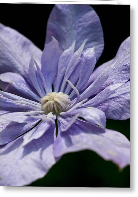 Young Blue Light Clematis Greeting Card by Edward Myers