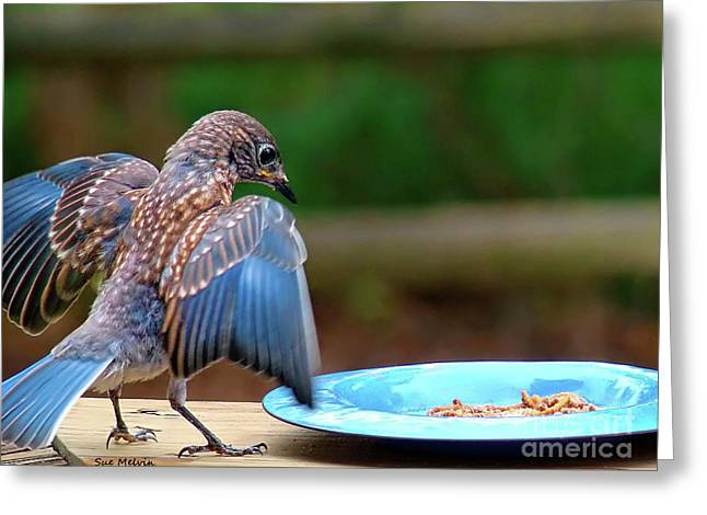 Young Bluebird's Delight Greeting Card by Sue Melvin