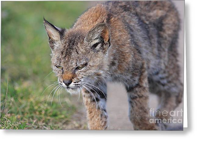 Young Bobcat 03 Greeting Card by Wingsdomain Art and Photography