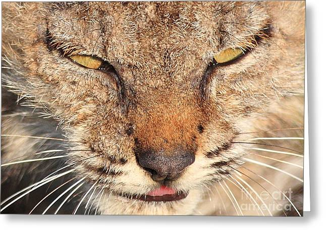 Young Bobcat Portrait 01 Greeting Card by Wingsdomain Art and Photography