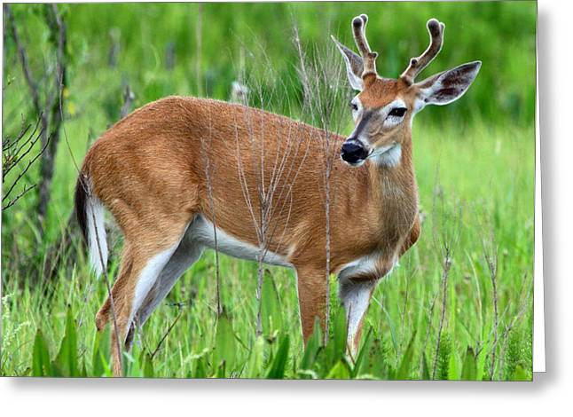 Greeting Card featuring the photograph Young Buck by Barbara Bowen