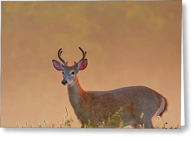 Young Buck Square Greeting Card