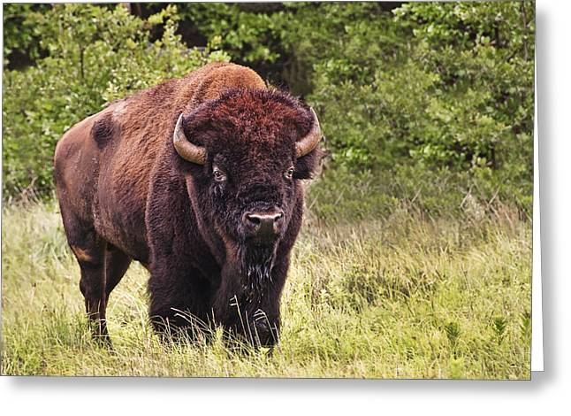 Young Buffalo Greeting Card