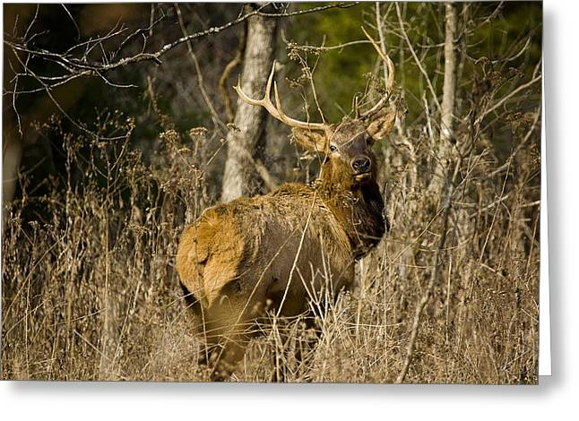 Greeting Card featuring the photograph Young Bull On A Woodland Trail by Michael Dougherty