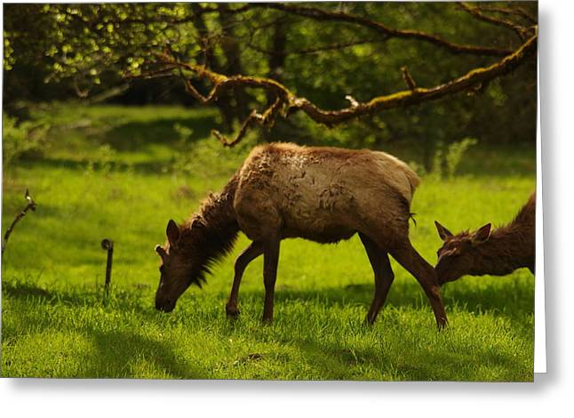 Young Bull With Nubs Growing Greeting Card by Jeff Swan